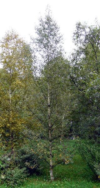 Betula pubescens Ehrh.