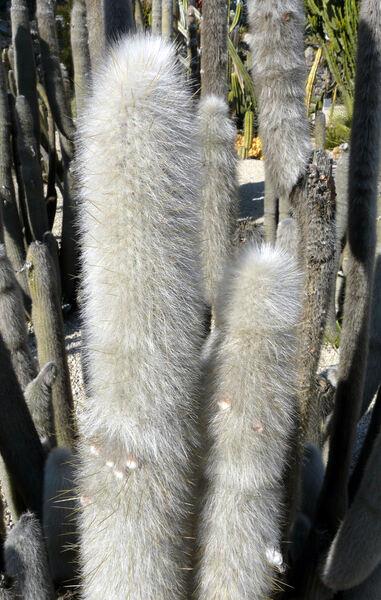 Cleistocactus hyalacanthus Backeberg