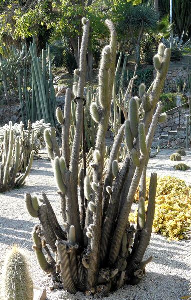 Cleistocactus x Oreocereus