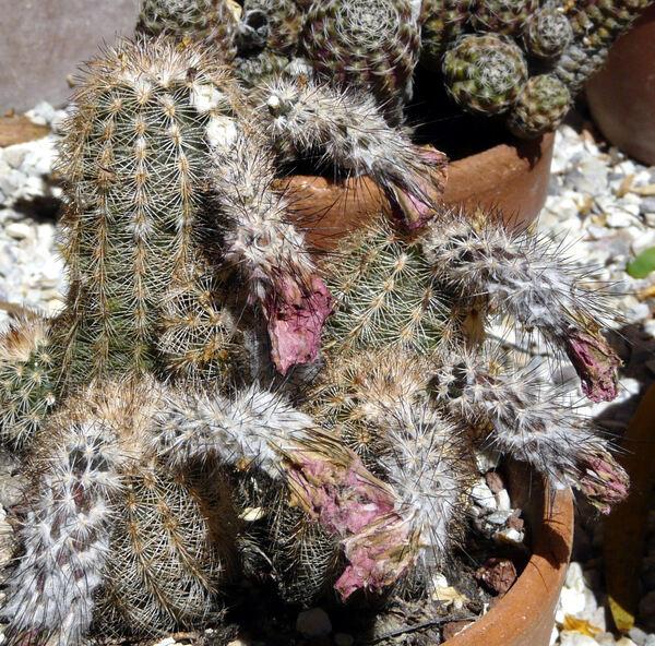 Echinocereus reichenbachii (Terscheck ex Walpers) Haage Jr. ex Britton & Rose subsp. baileyi (Rose) N.P.Taylor