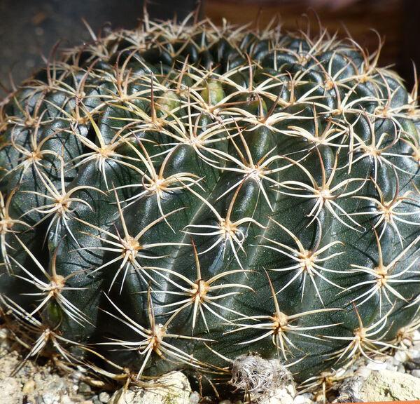 Echinopsis ancistrophora Speg.