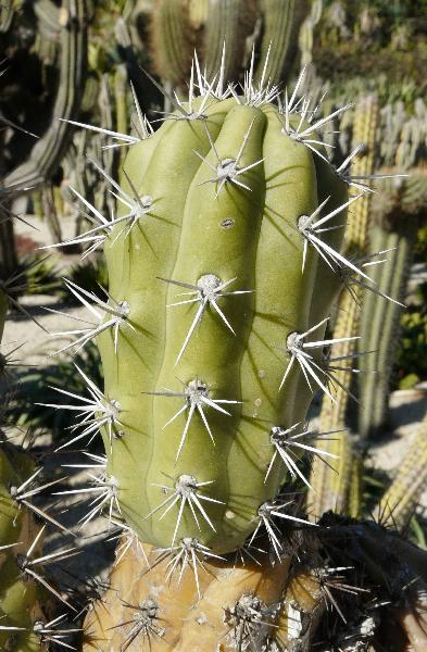 Echinopsis litoralis (Johow) H. Friedrich & G. D. Rowley