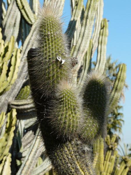 Espostoa x Cleistocactus