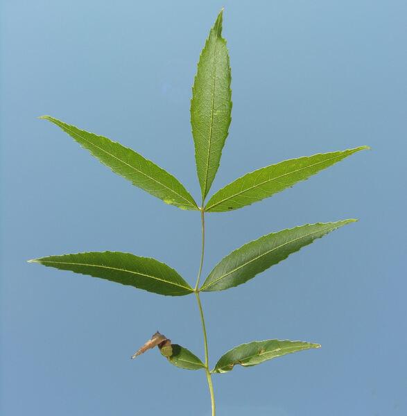 Fraxinus angustifolia Vahl 'Raywood'