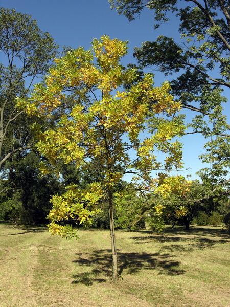 Fraxinus angustifolia Vahl var. australis (J.Gay) C.K. Schneid.