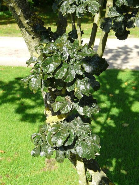 Fraxinus excelsior L. 'Crispa'