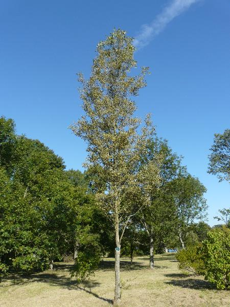 Fraxinus excelsior L. subsp. excelsior