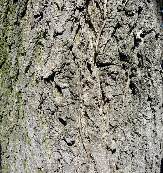 Fraxinus pennsylvanica Marshall var. subintegerrima (Vahl) Fernald