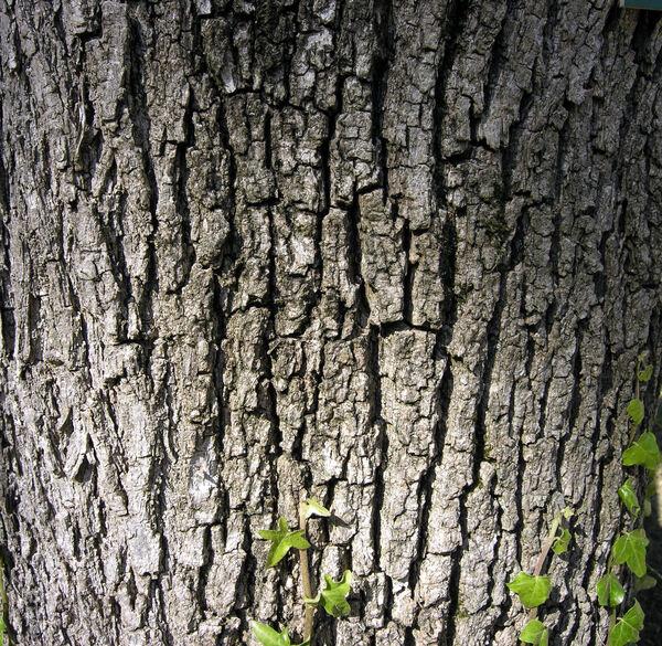 Fraxinus velutina Torr.