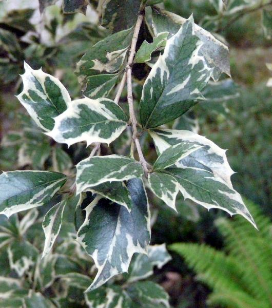 Osmanthus heterophyllus (G. Don) P.S. Green 'Variegatum'