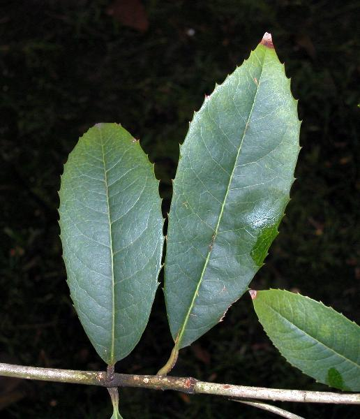 Osmanthus yunnanensis P.S.Green