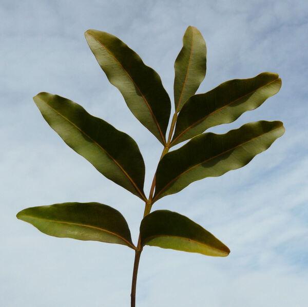 Ekebergia capensis Sparrm.