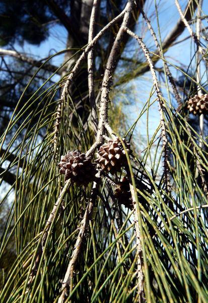 Casuarina cunninghamiana Miq. subsp. cunninghamiana