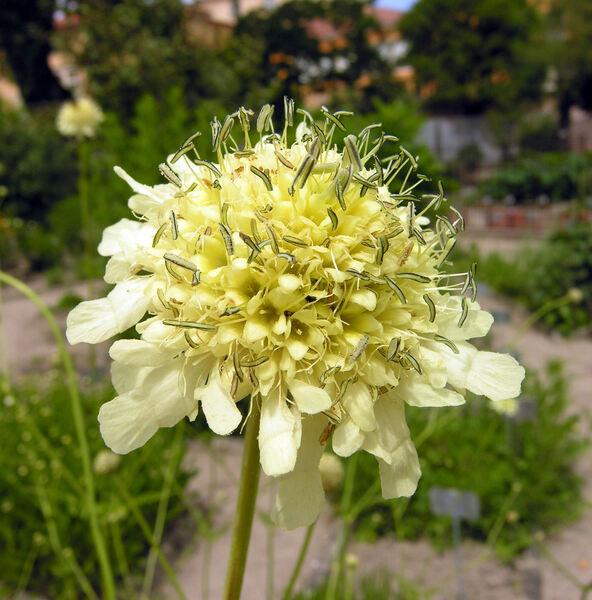 Cephalaria tatarica Schrad.