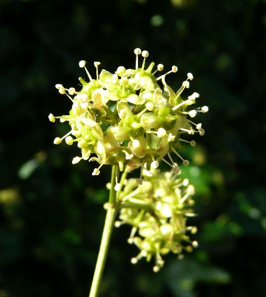 Euonymus fortunei (Turcz.) Hand.-Mazz. 'Silver Queen'