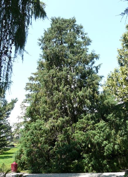 Chamaecyparis lawsoniana (Murray) Parl. 'Gracilis'