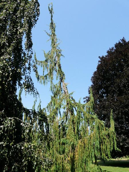 Chamaecyparis nootkatensis (D.Don) Spach 'Pendula'
