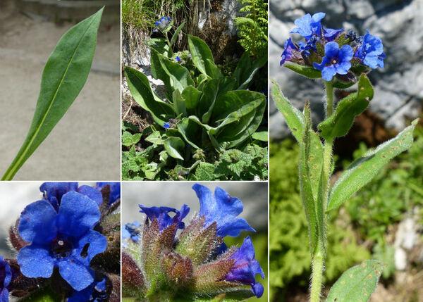 Pulmonaria angustifolia L.
