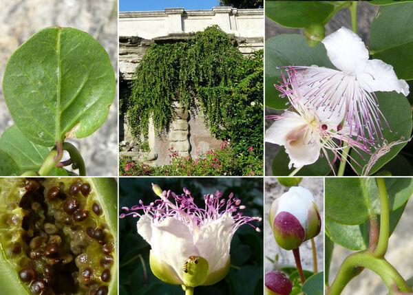 Capparis orientalis Veill.