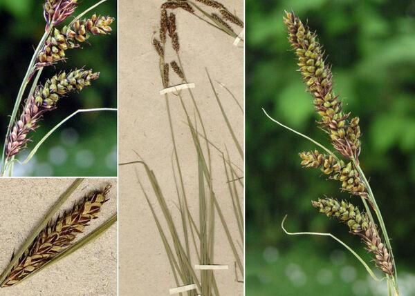 Carex hartmaniorum A.Cajander