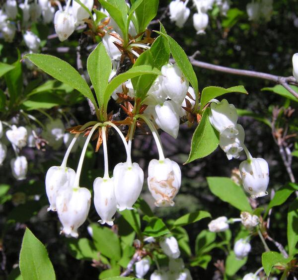 Enkianthus perulatus (Miq.) C.K.Schneid.