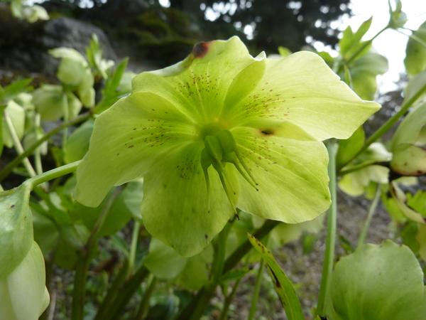 Helleborus odorus Waldst. & Kit. subsp. laxus (Host) Merxm. & Podlech