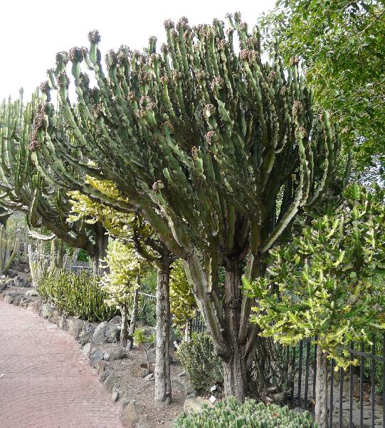 Euphorbia ammak Schweinf.