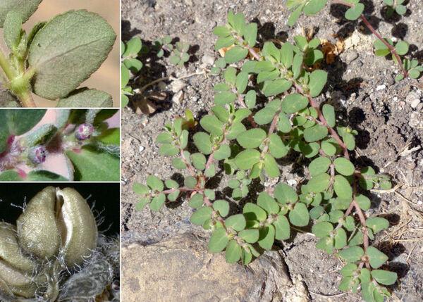 Euphorbia prostrata Aiton