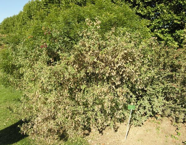 Colutea x media Willd.