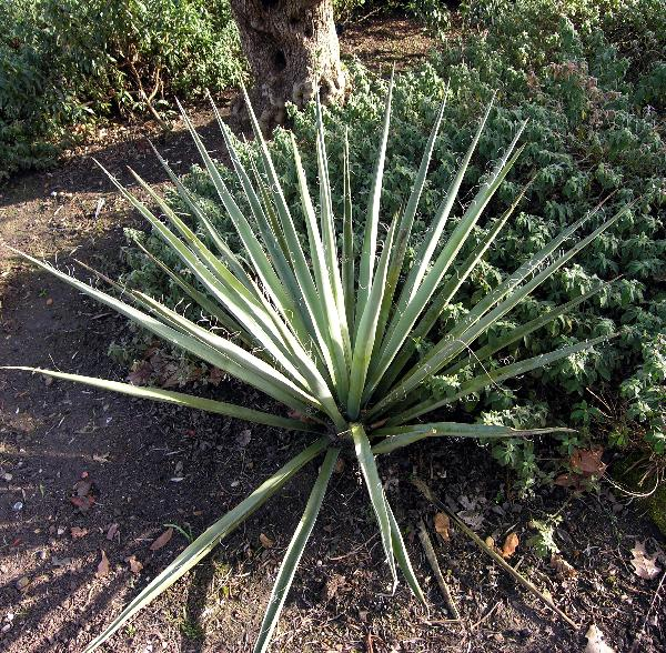 Yucca baccata Torr.
