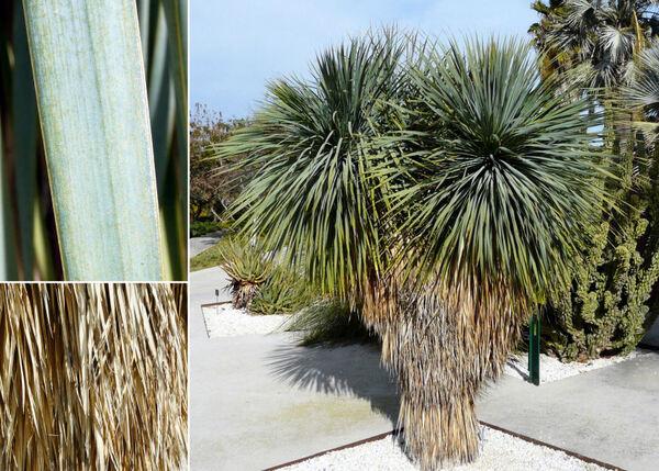 Yucca thompsoniana Trel.