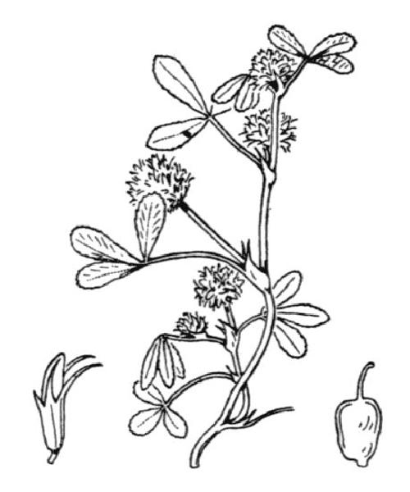 Trifolium retusum L.