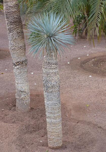 Yucca rostrata Engelm. ex Trel.