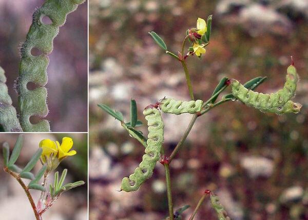 Hippocrepis ciliata Willd.