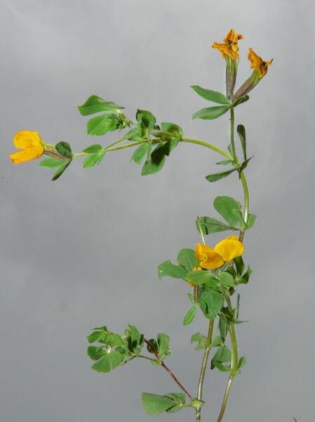 Lotus biflorus Desr.
