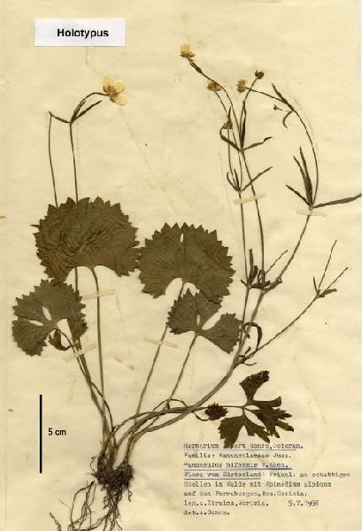 Ranunculus farraensis Dunkel & Poldini