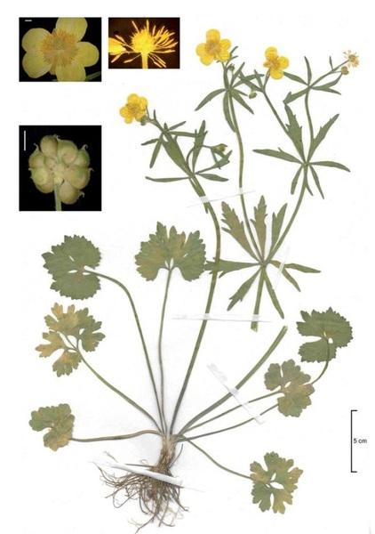 Ranunculus poldinii Dunkel