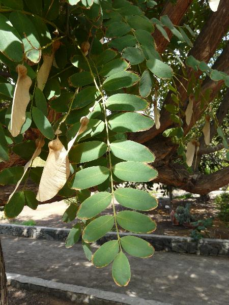 Tipuana tipu (Benth.) Kuntze