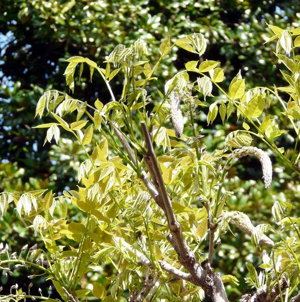 Wisteria floribunda (Willd.) DC. 'Murasaki Naga Fuji'