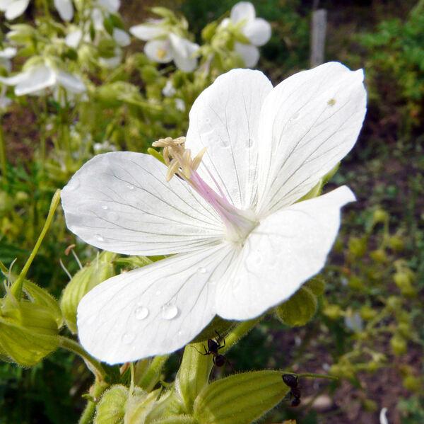 Geranium pratense L. 'Album'