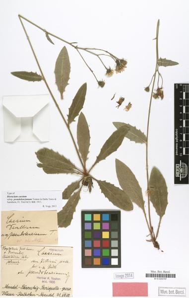 Hieracium caesium (Fr.) Fr.