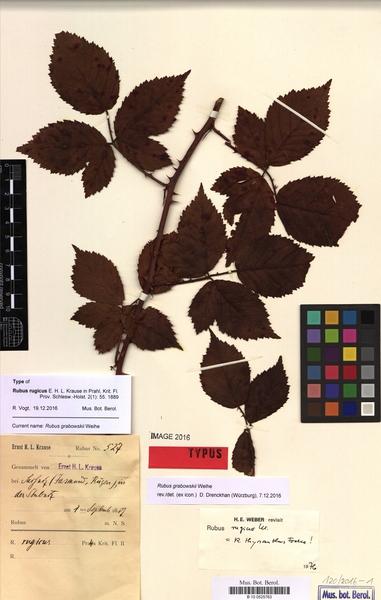 Rubus grabowskii Weihe
