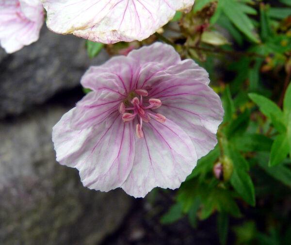 Geranium sanguineum L. var. striatum Weston