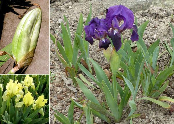 Iris pseudopumila Tineo