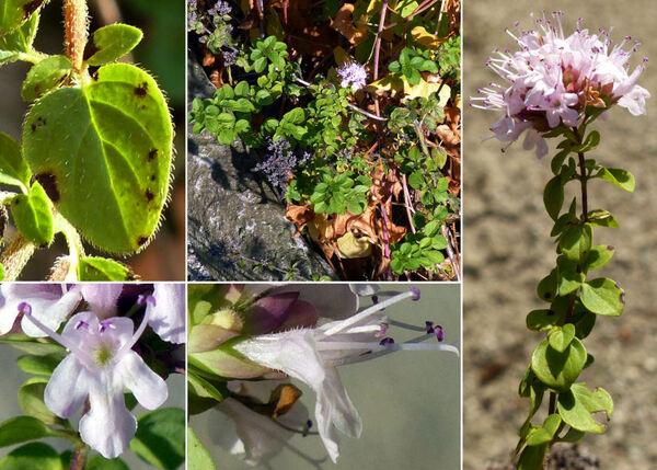 Origanum vulgare L. subsp. viridulum (Martrin-Donos) Nyman