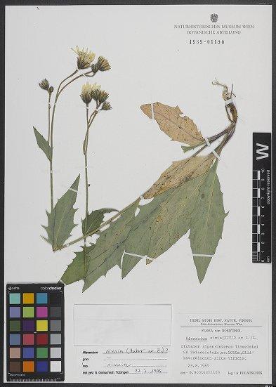 Hieracium simia (Huter ex Zahn) Zahn