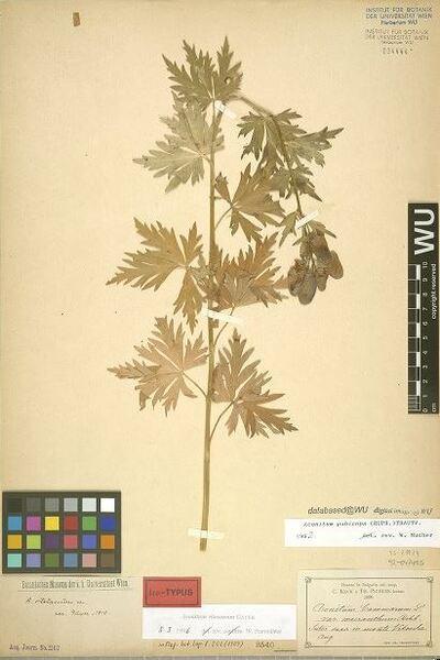 Aconitum vitosanum Gáyer