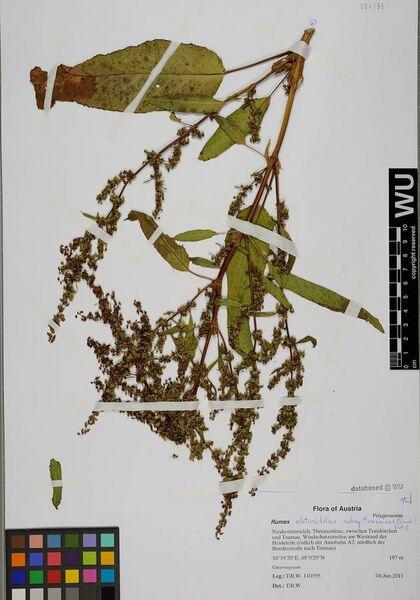 Rumex obtusifolius L. subsp. transiens (Simonk.) Rech.f.