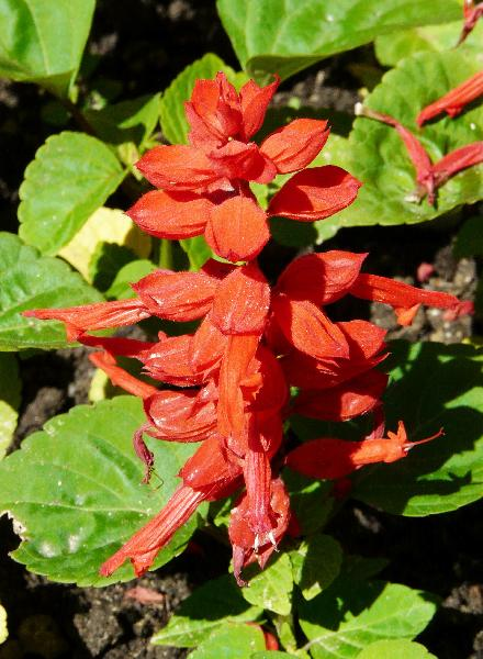 Salvia splendens Sellow ex Wied-Neuw.