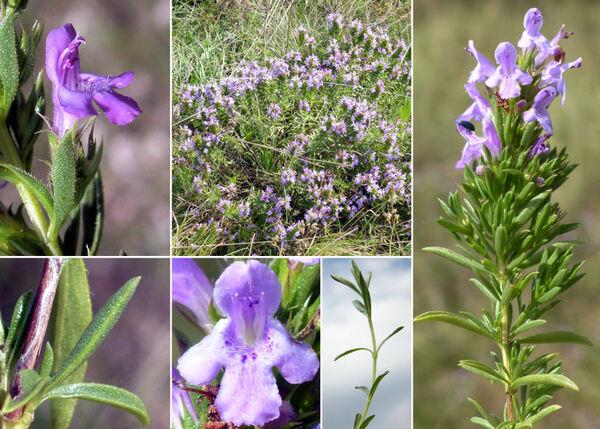 Satureja subspicata Bartl. ex Vis. subsp. liburnica Šilic
